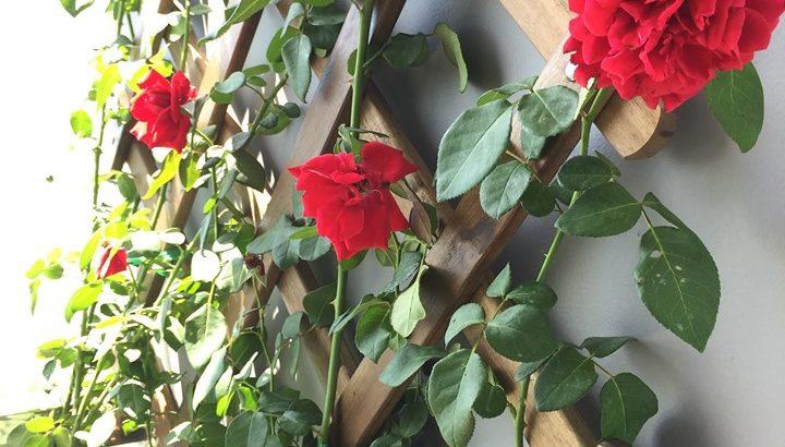 [Ý nghĩa] hoa hồng tiệc khai trương